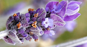Single bud of Lavender
